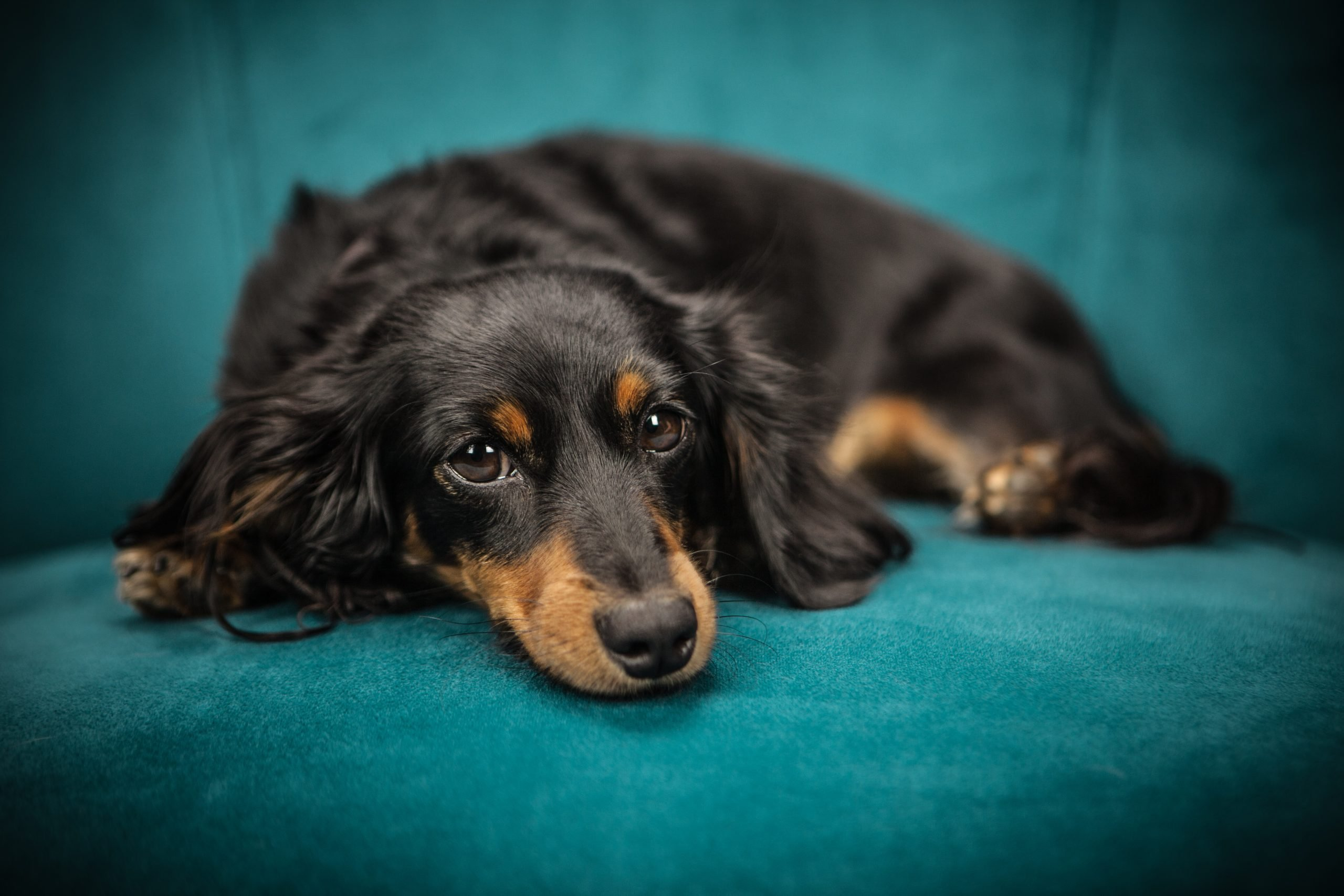 black and tan dog on blue couch